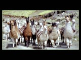 Band of lamas by ppigeon, Photography->Animals gallery
