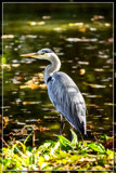 Egret In The Fall by corngrowth, photography->birds gallery