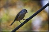 Purdy Birdie by Jimbobedsel, photography->birds gallery