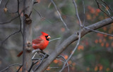 Simplified Cardinal by Jimbobedsel, photography->manipulation gallery