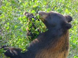 Beary Berries by Zava, photography->animals gallery