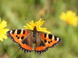 Small Tortoiseshell (Aglais Urticae) - Kleine Vos by cameraatje, photography->butterflies gallery