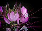 Cleome Purple by Pixleslie, Photography->Flowers gallery