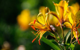 Alstroemeria by Pixleslie, Photography->Flowers gallery