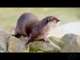 Otter by JQ, Photography->Animals gallery
