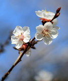 Plum Good by Pistos, photography->flowers gallery