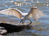 Fly Fishing by SR21, Photography->Birds gallery