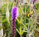 Air Station Prairie - Meadow Blazing Star by trixxie17, photography->flowers gallery