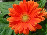 Orange You Pretty? by kidder, Photography->Flowers gallery