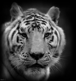 Cat Camp Tiger by tigger3, contests->b/w challenge gallery