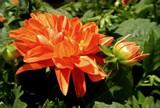 Fall Dahlia by trixxie17, photography->flowers gallery