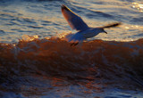 seagull in a sunset sea by solita17, Photography->Birds gallery