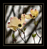 Double Coloured Dogwood by verenabloo, Photography->Flowers gallery