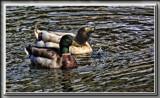 Ducks On The Pond by Jimbobedsel, photography->birds gallery