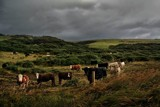 Southland Cattle by LynEve, Photography->Animals gallery