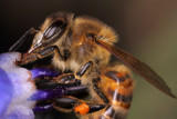 Honeybee #28 by ryzst, photography->insects/spiders gallery