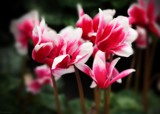 Cyclamen Red & White by LynEve, photography->flowers gallery
