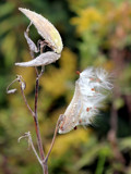 Milkweed Launch by Pistos, photography->nature gallery