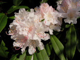 Rhodondenderon by Paul_Gerritsen, Photography->Flowers gallery