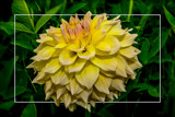 Dahlia Show 10 by corngrowth, photography->flowers gallery