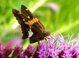 Another Silver-spotted Skipper by rhelms, Photography->Butterflies gallery