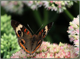 The Buckeye Butterfly by tigger3, photography->macro gallery
