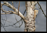 Birch Tree (horizontal view for roland)) by verenabloo, Photography->Nature gallery