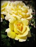 Lemon Chiffon.... 2011 by Roseman_Stan, photography->flowers gallery
