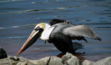 Brown Pelican by allisontaylor, Photography->Birds gallery