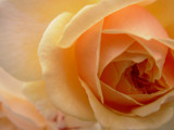 Orange Flow by MTlens, Photography->Macro gallery