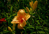 Golden Prize Round Two by phasmid, Photography->Flowers gallery