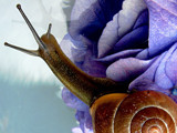 Snail on blue by rozem061, Photography->Macro gallery