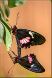 'Acrobatic Act' by corngrowth, photography->butterflies gallery