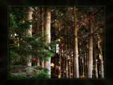 Pine Woods by LynEve, Photography->Landscape gallery