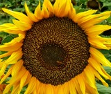Sunflower time #3 by LynEve, photography->flowers gallery