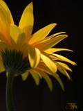 Gerbera Light by ccmerino, Photography->Flowers gallery