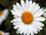Daisy by mac39, photography->flowers gallery