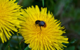 Bee Dandy by slybri, photography->insects/spiders gallery