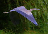Great Blue Heron in Flight by legster69, Photography->Birds gallery