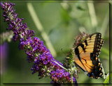The Eastern Tiger Swallowtail (Pterourus glaucus) by tigger3, photography->butterflies gallery