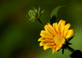 Coreopsis 1 by gerryp, Photography->Flowers gallery