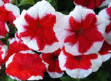 Wet Red n White Bloomers by paramedyc, Photography->Flowers gallery