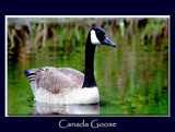 Canada Goose Portrait 1 by gerryp, Photography->Birds gallery