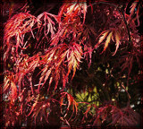 Japanese Maple by trixxie17, photography->nature gallery