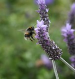 The Lavender Landing by LynEve, photography->flowers gallery