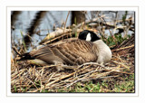 Nesting Canada Goose by gerryp, Photography->Birds gallery
