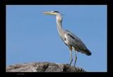 heron by kodo34, Photography->Birds gallery