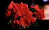 Pelargon by Blabarspaj, Photography->Flowers gallery