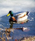 Mallard On Ice by kidder, Photography->Birds gallery