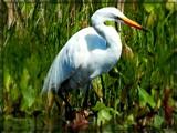 Stalking Egret by trixxie17, photography->birds gallery